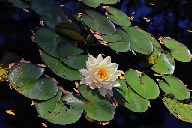 Damselfly on Water Lily / Libélula y nenufar