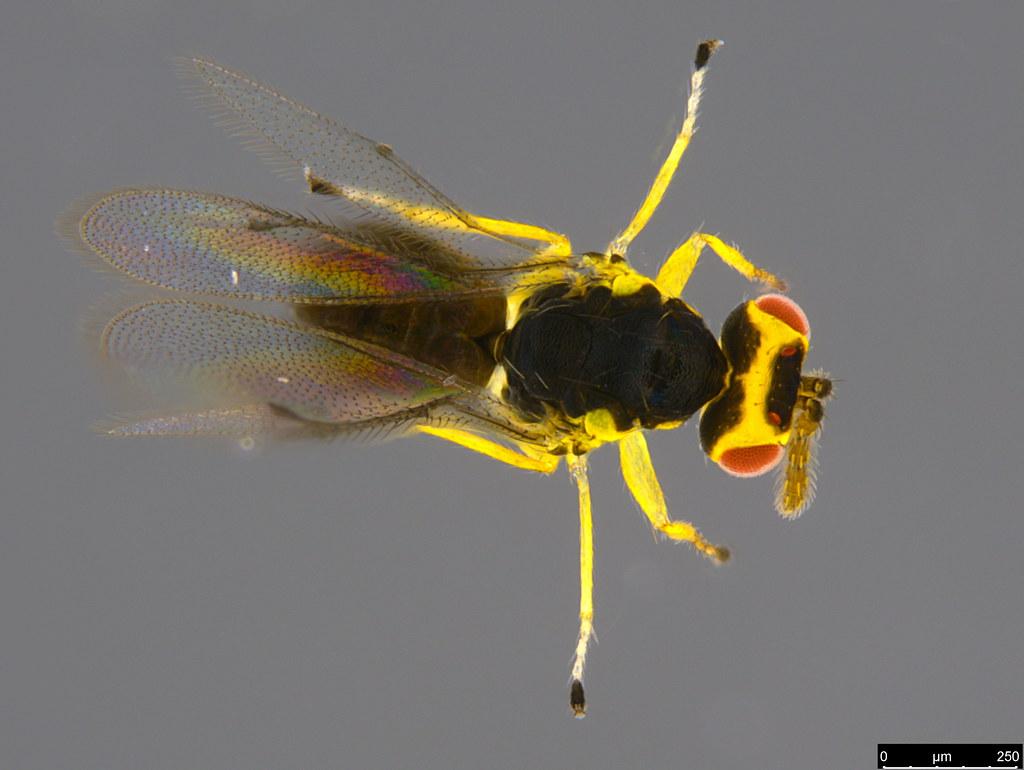7a - Chalcidoidea sp.