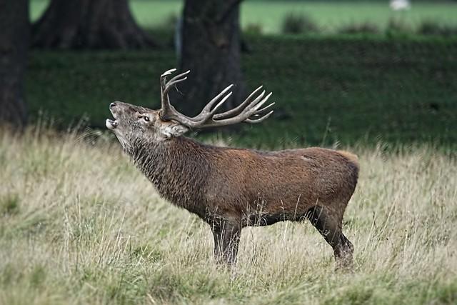 Red Deer Stag Calling