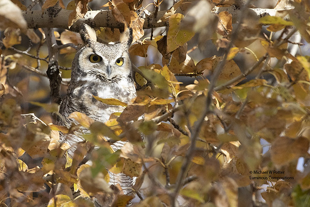Great Horned Owl in the fall