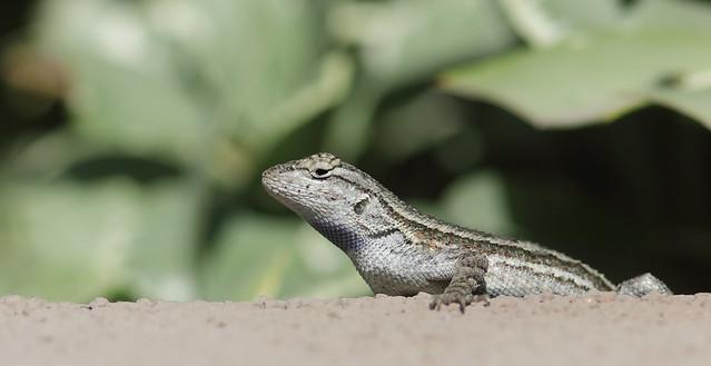 5DM48643 View Large. Lizard. Backyard. Corona California