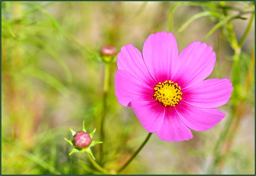 Pink Autumn Cosmos