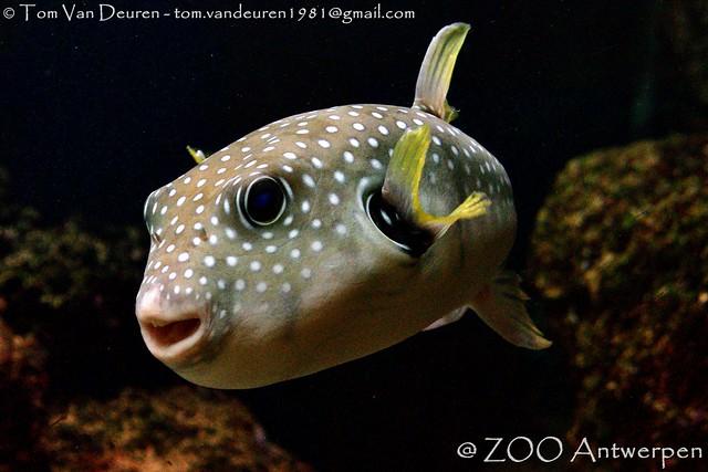 witgevlekte kogelvis - Arothron hispidus - stars-and-stripes pufferfish