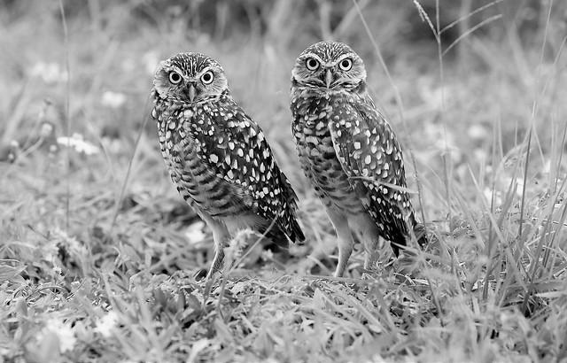 Burrowing Owls -- Cape Coral, Florida