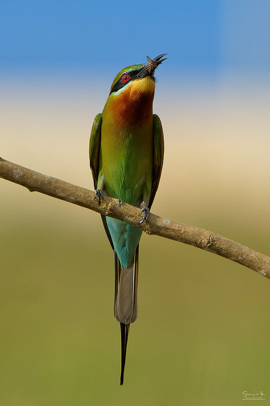 Blue Tail Bee Eater - Singapore - Sony A1 + Sony 200mm-600mm