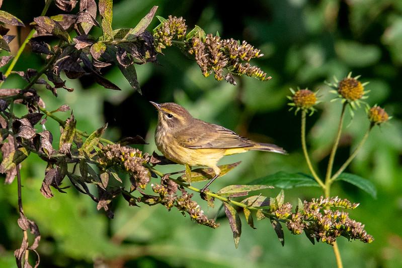 palm-warbler-4583