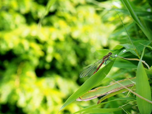 Libelle auf Bambus - Dragonfly on bamboo