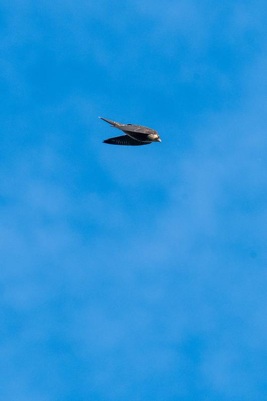 peregrine-falcon-gwc-4812