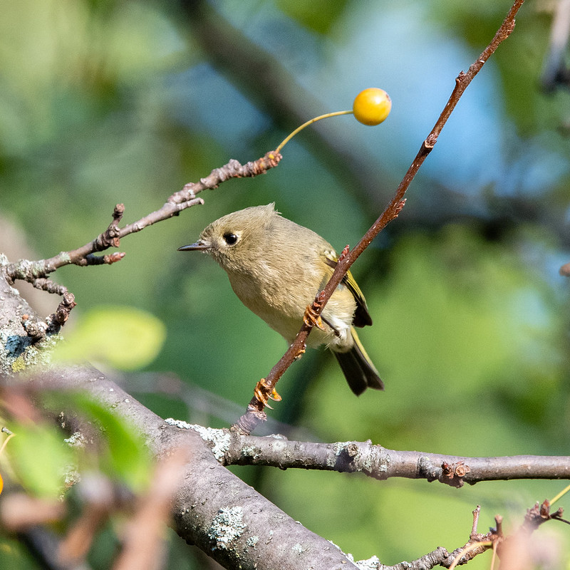 ruby-crowned-kinglet-gwc-4783
