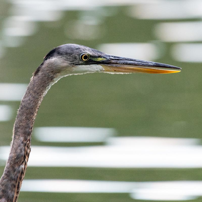 great-blue-heron-juvenile-gwc-4953
