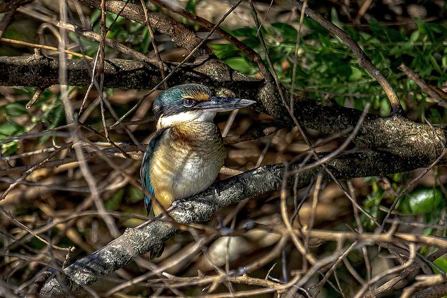 New Zealand native kingfisher  _MG_7511