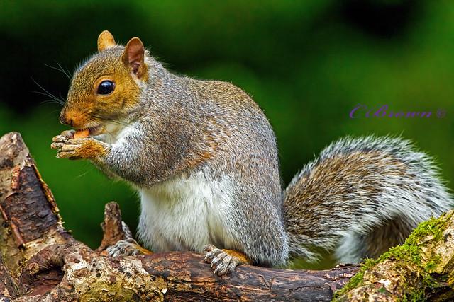 Grey Squirrel ( Sciurus carolinensis ) - Gutsy grey !!