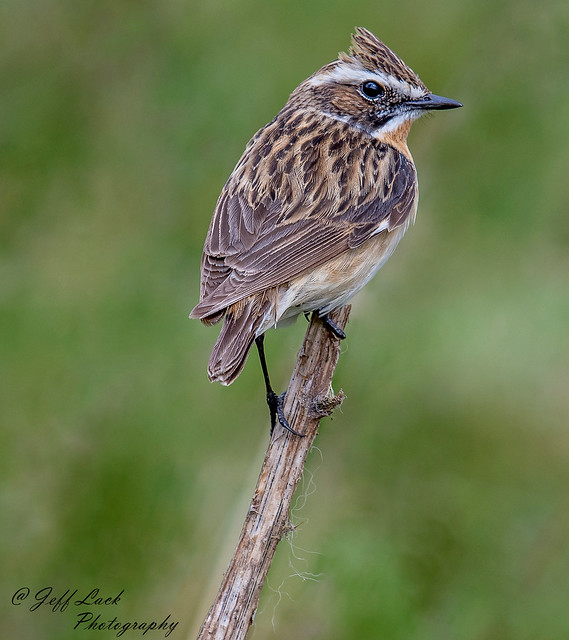 DSC1827  Whinchat...