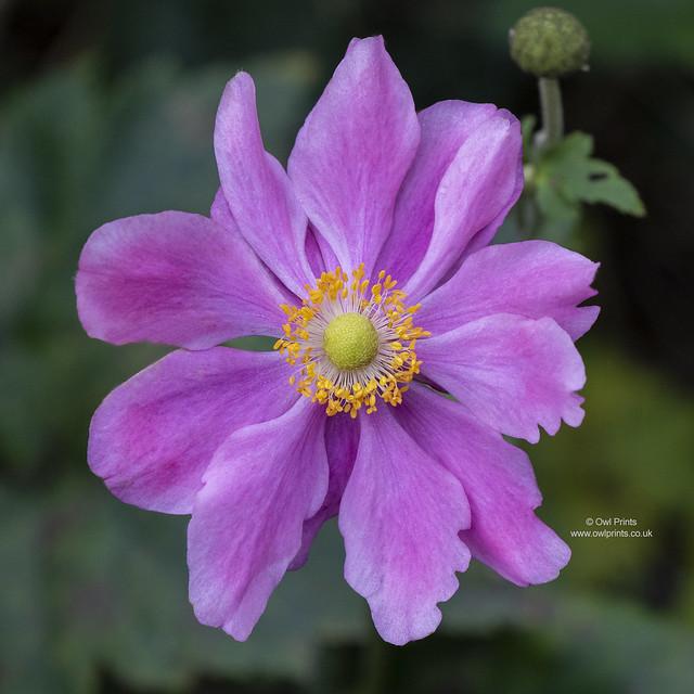 Anemone × hybrida 'Margarete'