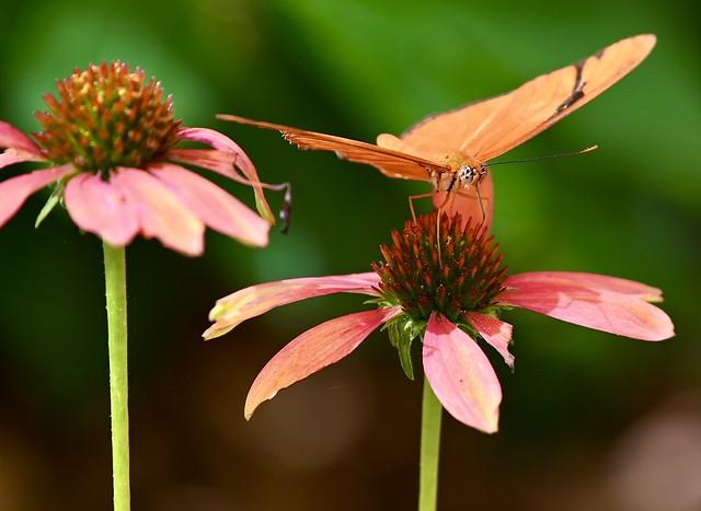July 31 Butterfly Series