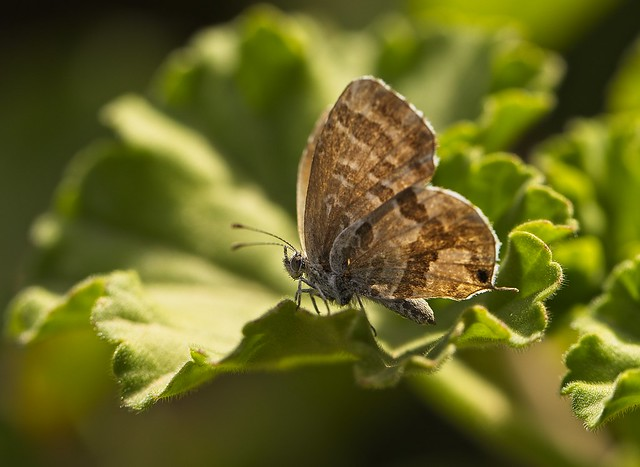 Sounion fauna/butterfly moth