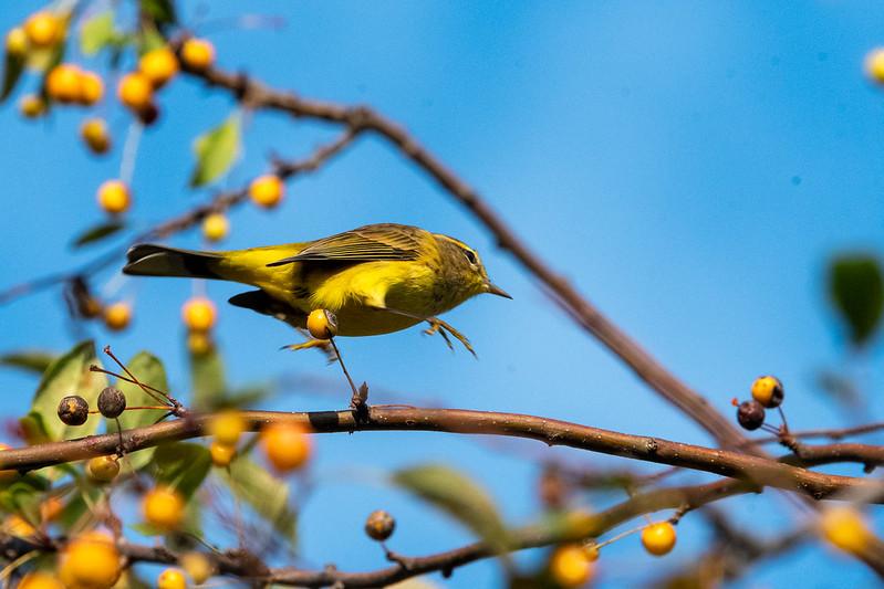 palm-warbler-highstep-gwc-4760