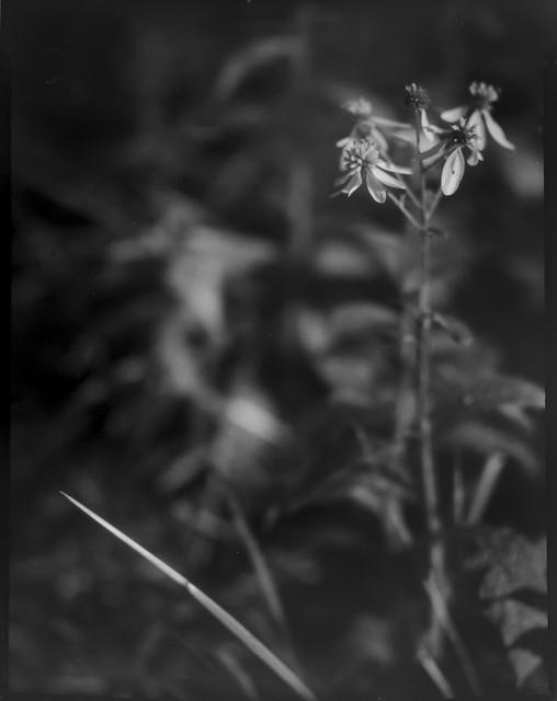 cluster, wildflowers, blade of grass, Biltmore Estate, Asheville, NC, Folmer Graflex  R.B. Series B, Kodak Anastigmat f-4.5, Adox CHS 100 II, 3x4 sheet film negative, HC-110 developer, 10.16.21