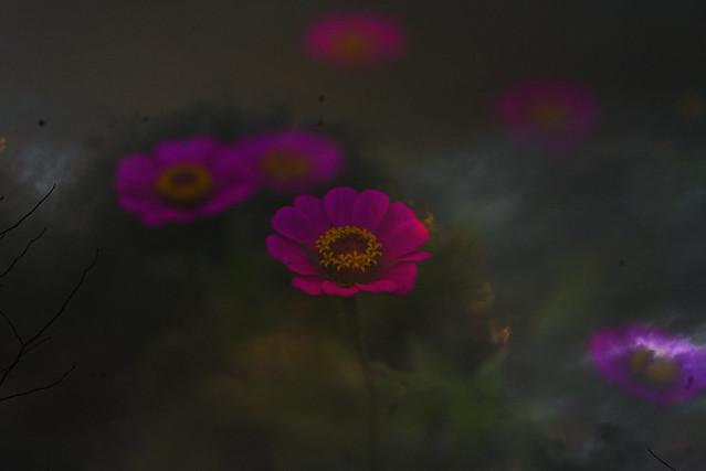 _DSC3152 pink zinnia at dusk v2