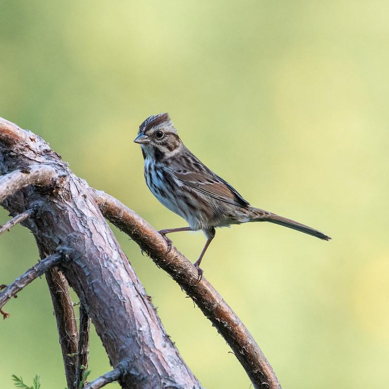 song-sparrow-gwc-4713