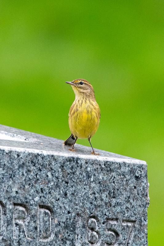 palm-warbler-gwc-4916