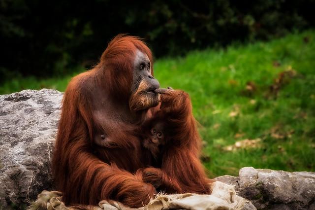 Orangutan_CZ131021(05)