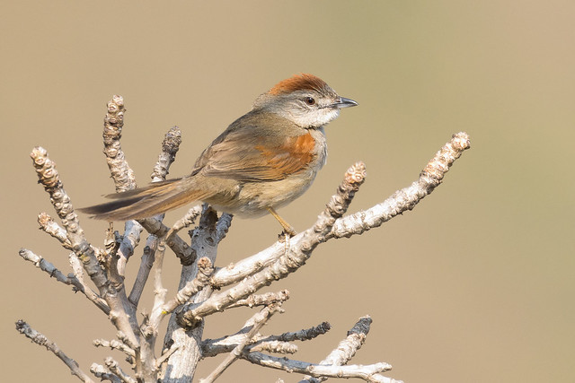 Pale-breasted Spinetail (Synallaxis albescens)