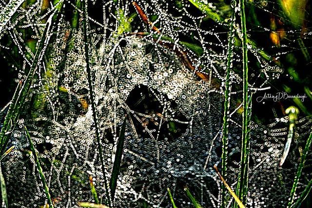 Dewdrops & Cobwebs on Grass 761sg-1
