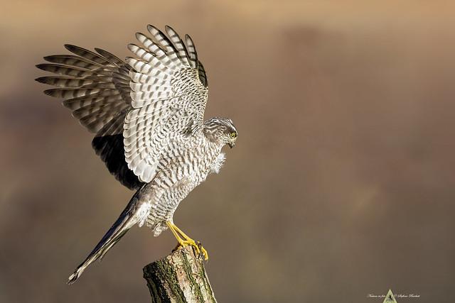 Sparviere - Accipiter nisus