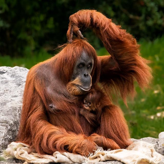 Orangutan_CZ131021(04)