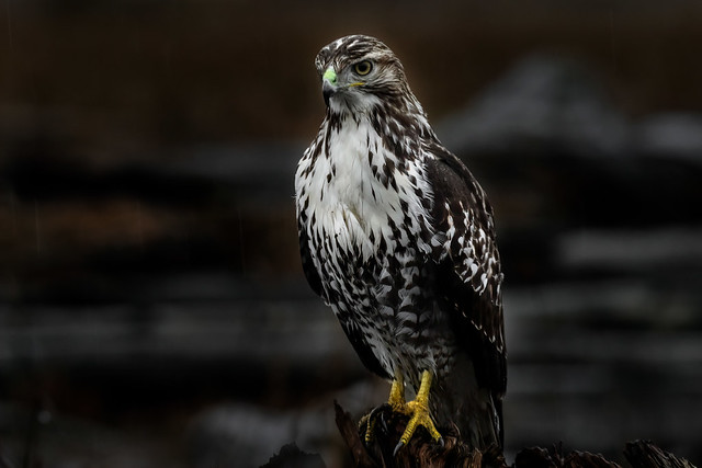 Red-tailed Hawk / Buse à queue rousse