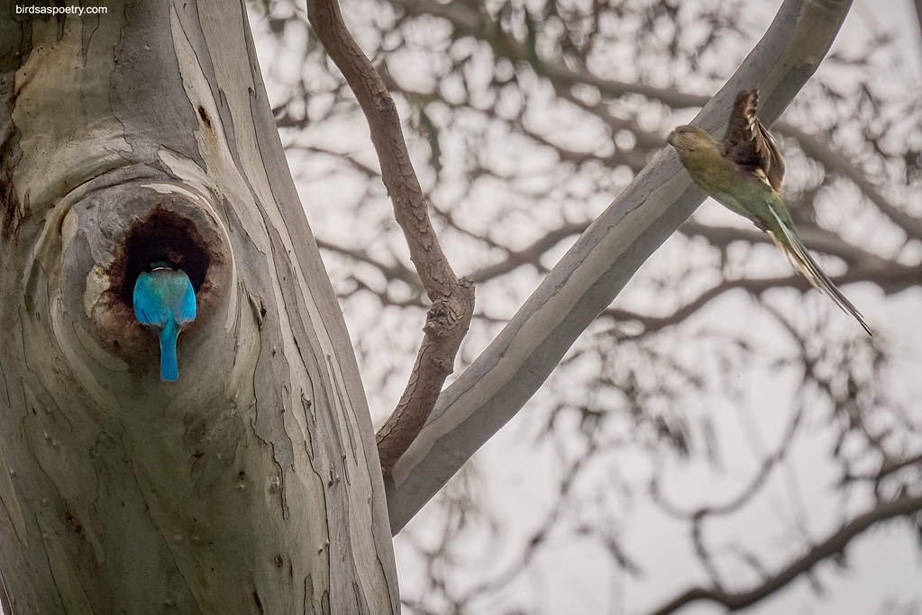 Sacred KIngfisher, Red-rumped Parrot: Hey! That's Mine!!