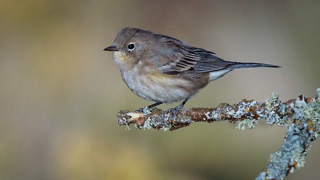 Yellow-rumped Warbler - Fall