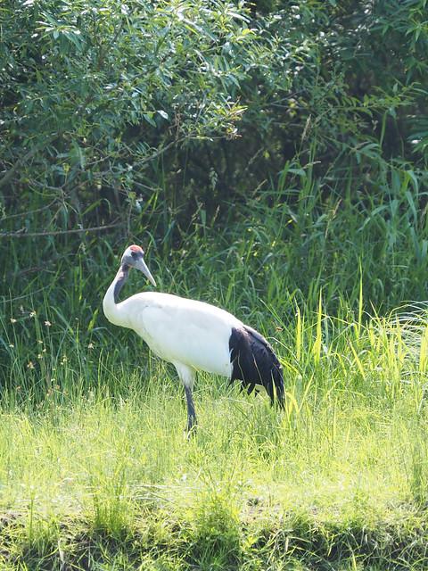 Japanese red-crowned crane of Kushiro River,Hokkaido 2021/07 No.1.