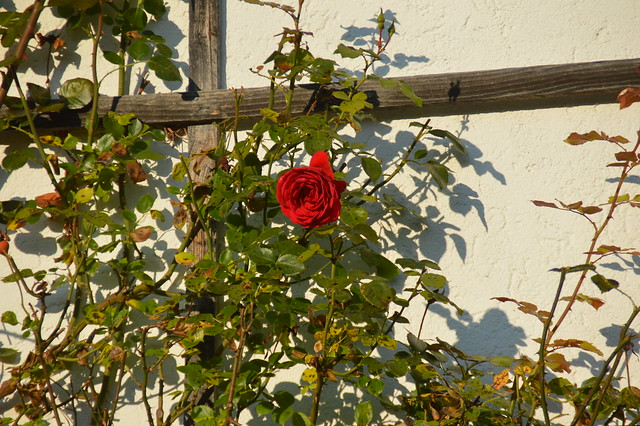 DSC_0193 Oktober-Blüte Rose