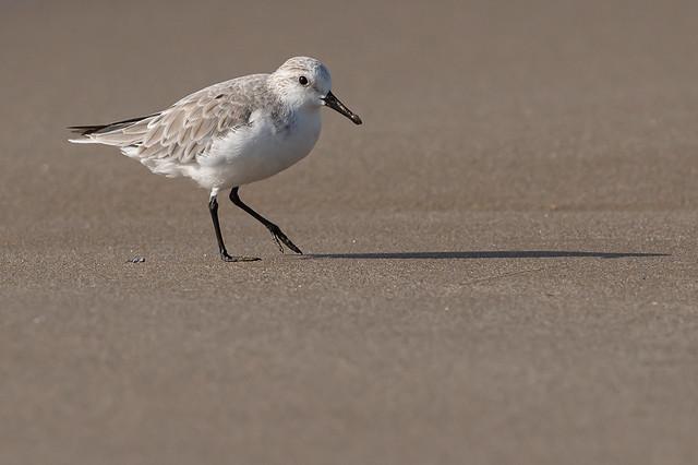 Territ de tres dits - Correlimos tridactilo - Sanderling - Bécasseau sanderling - Calidris alba