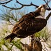 Flickr photo 'On Top of Osprey Perch Tree' by: Phil's 1stPix.