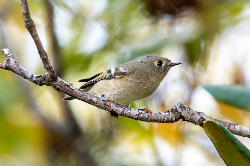 ruby-crowned-kinglet-gwc-4744