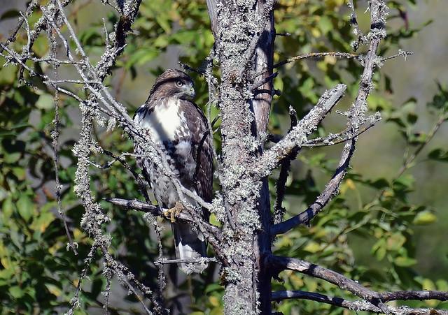 As always the evil eye - Redtail Hawk