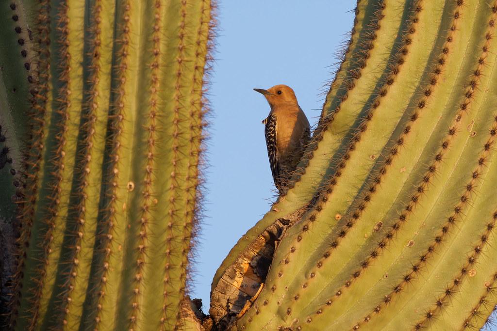 A female Gila woodpecker perches on a saguaro near sunset in Scottsdale, Arizona on March 21, 2021. Original: _RAC5482.arw