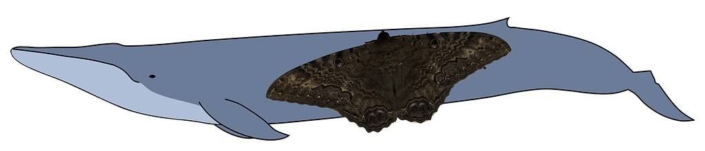 A joking size comparison of a black witch moth to a blue whale with the size of the moth greatly exaggerated
