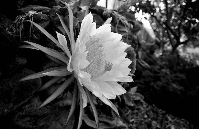Flor de un día