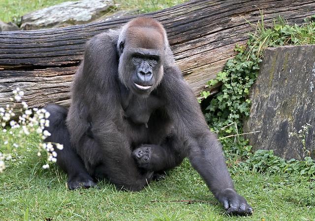 Gorilla-Mama Bibi mit ihrer kleinen Gorilla-Dame Tilla