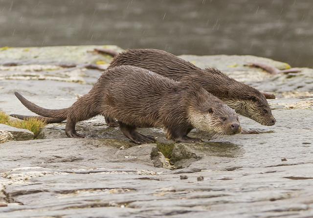 Otter Lerwick Shetland Islands Scotland October 2021