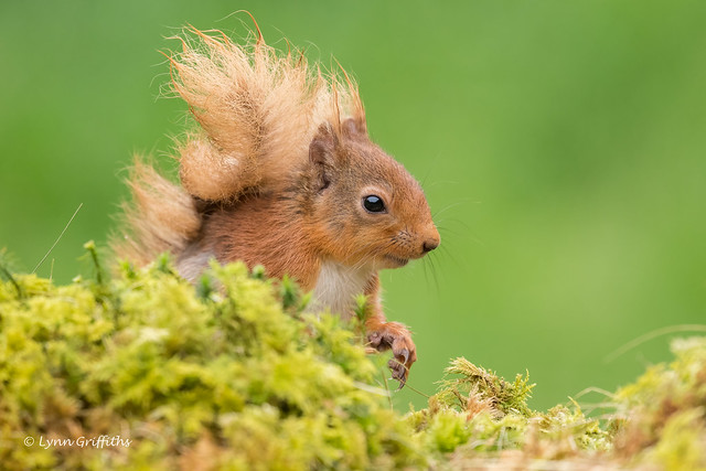 Red Squirrel 850_8466.jpg