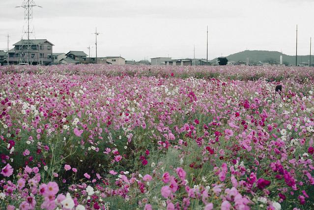 近江八幡市野田町のコスモス畑-65