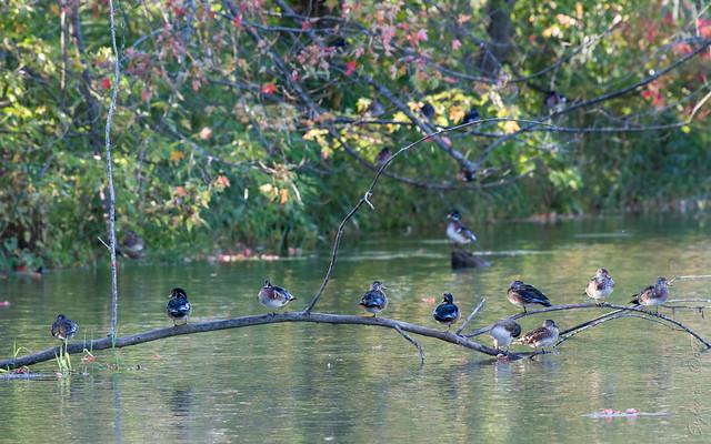 Canards branchus / Wood Ducks [Aix sponsa]