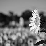 20210919 Enokimae Sunflower Field 3