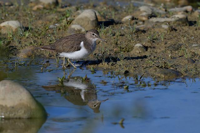 Chevalier guignette - Actitis hypoleucos - Common Sandpiper - Flussuferläufer - Andarríos chico - Piro piro piccolo