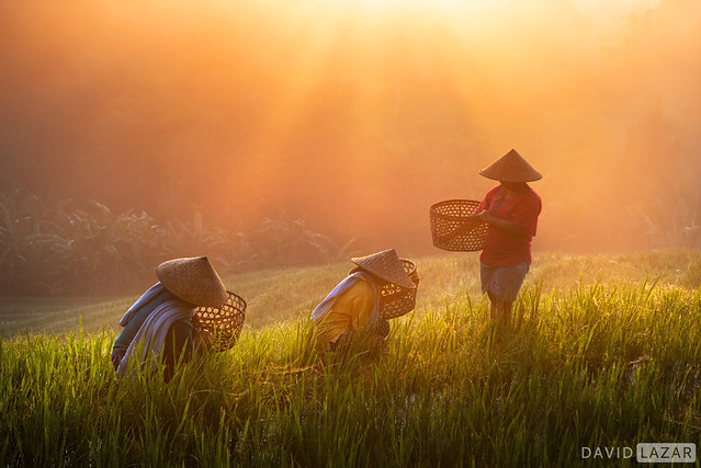 Morning Rays Over Rice Terrace